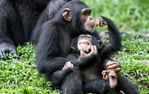 Chimpanzees in Uganda