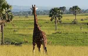 Giraffee in Uganda