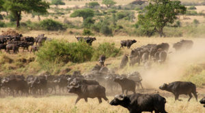 A herd of buffaloes in Kidepo Valley National Park, in North Eastern Uganda.