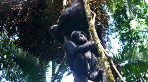 Chimp tracking in Uganda is one of the most exciting and blissful experience.