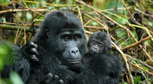 An adult mountain gorilla holding a young one in the forests of Uganda