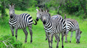 Zebras commonly found in Lake Mburo National Park in Western Uganda.