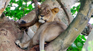 One of the tree climbing lions found in Ishasha region of Queen Elizabeth National Park in Western Uganda.