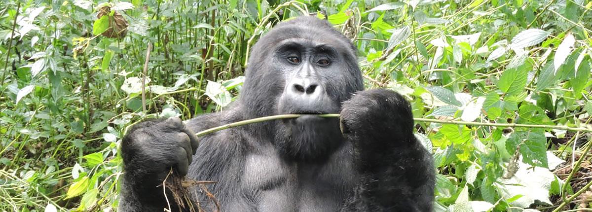 Gorilla Safari in Uganda
