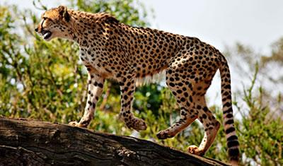 Kidepo Cheetah