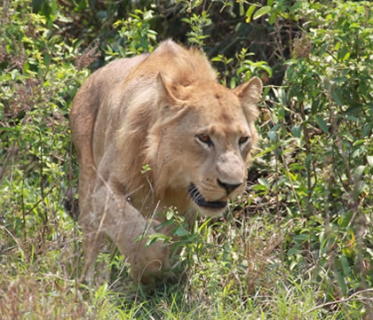 Lion in Queen Elizabeth National Park