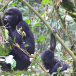 An adult mountain gorillas and a young one in search for food for the day in Uganda.