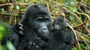 An adult mountain gorilla holding a young one in the forests of Uganda.