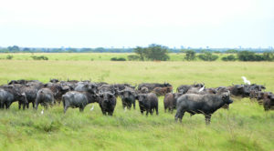 A herd of buffaloes in Queen Elizabeth National Park.