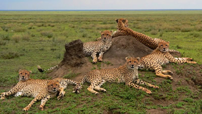 Cheetahs in Serengeti National Park