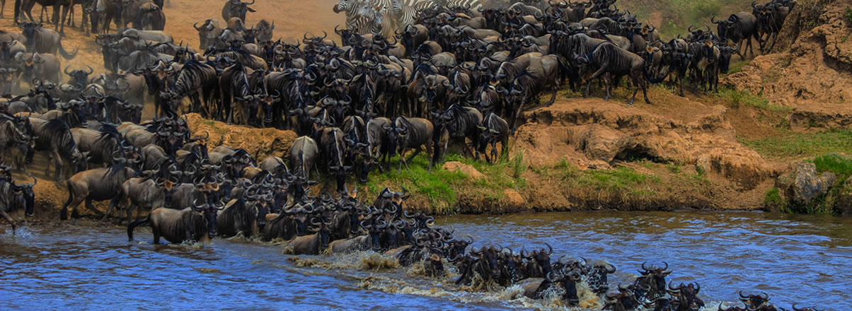 Wildebesst Migration